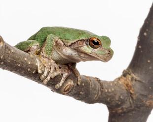 Cope's Gray Treefrog,sam stukel,2019_9.j