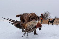 chocolate lab with a pheasant