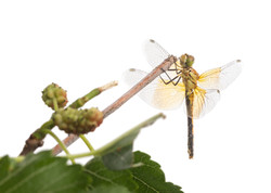 Dragonfly on mulberry limb