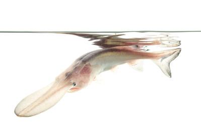American paddelfish (leucistic)
