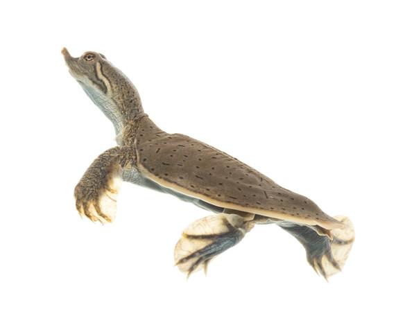 Smooth softshell turtle