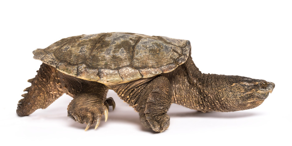 common snapping turtle,sam stukel,2020-4