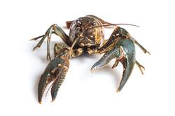 Northern (virile) crayfish