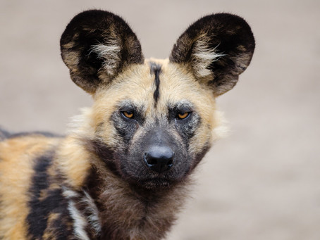Non-profit supports wild dogs in Mana Pools, Zimbabwe