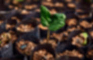 Croton seedling at TreeEco nursery .jpg