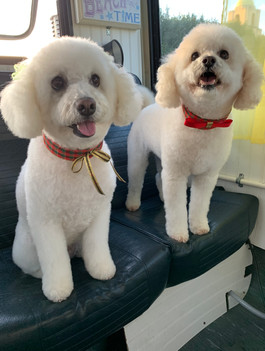 Poodle Mix Groomed
