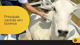 Principais vacinas em bovinos
