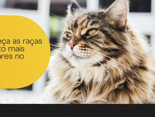 Conheça as raças de gato mais populares no Brasil