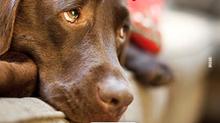 Precisa deixar seu cão sozinho? Habitue-o aos poucos!
