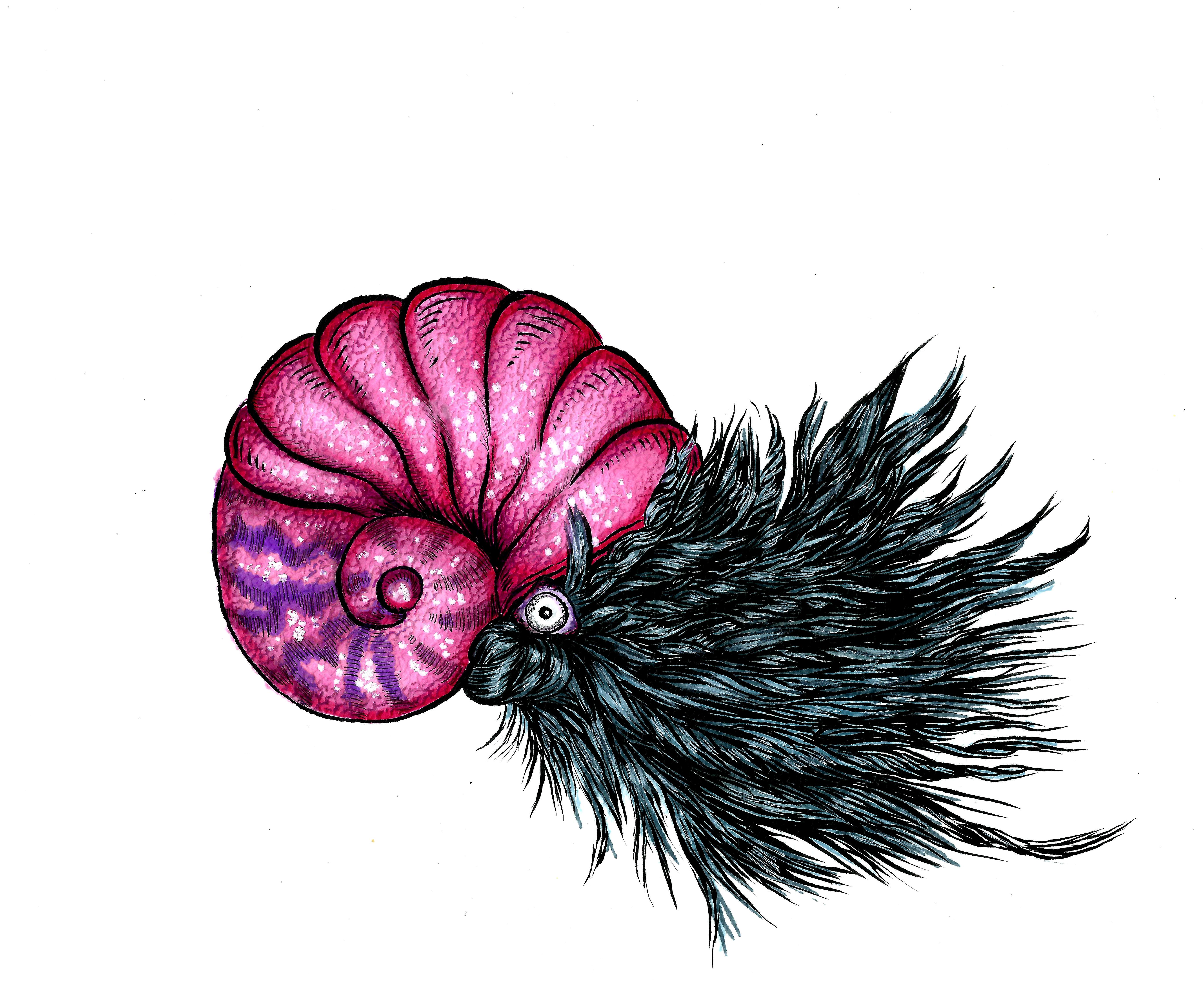 Cephalopod rosea capillum