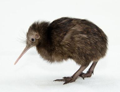 KH kiwi.jpg