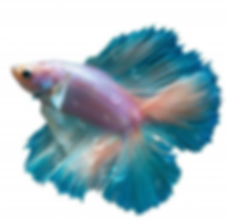 fighter fish.PNG