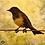 Thumbnail: YELLOW RUMPED MARSH BIRD (print)