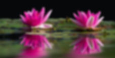 ninfee rosa