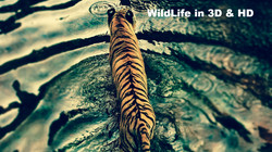 tiger_in_disneys_animal_kingdom-1280x720_edited