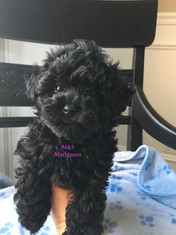 MS Maltipoos, cute Maltese teacup toy Poodle puppies for