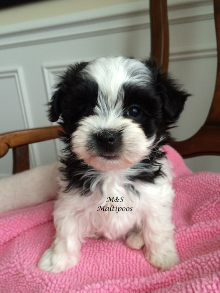 Ms Maltipoos Cute Maltese Teacup Toy Poodle Puppies For