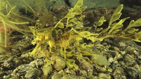 Leafy sea dragon-Australia.mov