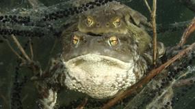 Toads portrait-Switzerland.mov