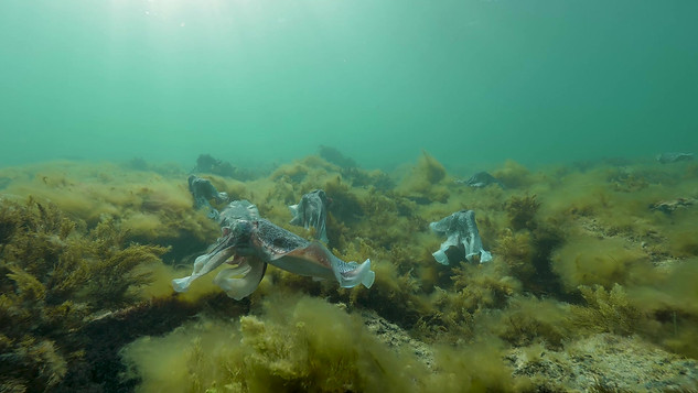 Giant Cuttlefish_ 1