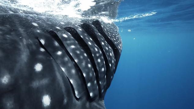 Whale shark-Mexico.mov