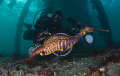 My and Leafy sea dragon