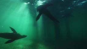 Harbour seal-Australia.mov