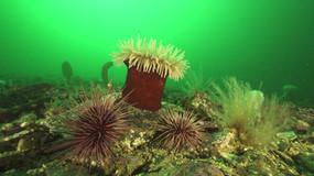 Magnificent anemone-Canada.mov