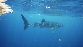 Whale shark pursuit.mov
