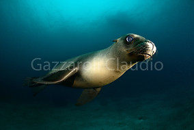 Sea lion modeling