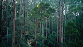 Eucalyptus tree-Australia.mov
