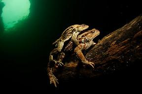 Fresh water frog