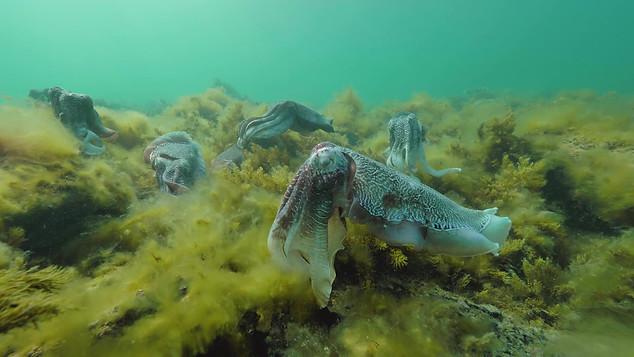 Giant Cuttlefish_ 3