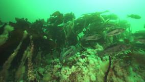 Kelp-Canada.mov