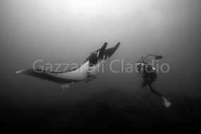 Giant manta