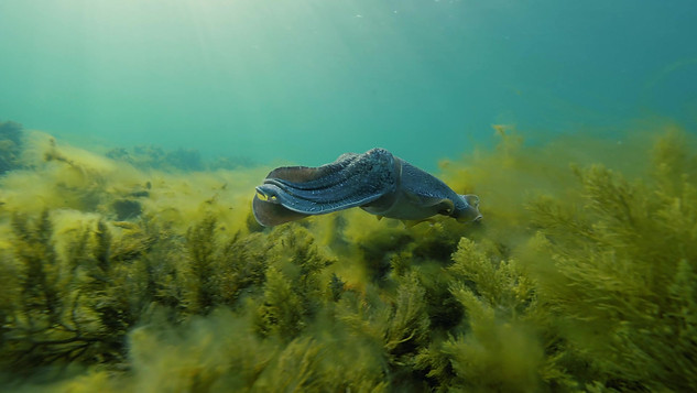 Giant Cuttlefish_ 2