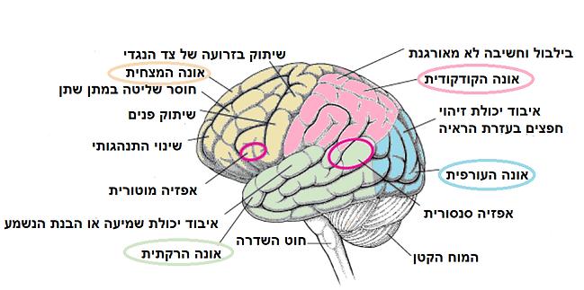 חלקים במוח ותפקודם