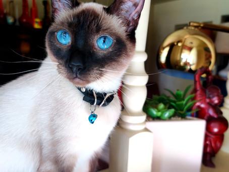 4 Secret Legends of the Siamese Cat