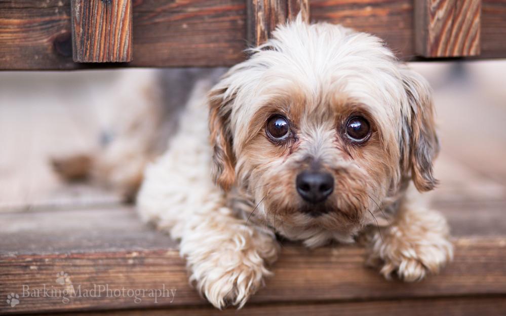 Scamp Puppy Dog Eyes Watermarked.jpg