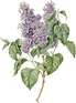 06_purple_lilac_graphicsfairy.png