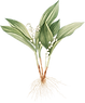 05_lily_of_the_valley_graphicsfairy.png