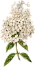 21_white_hydrangea_graphicsfairy.png
