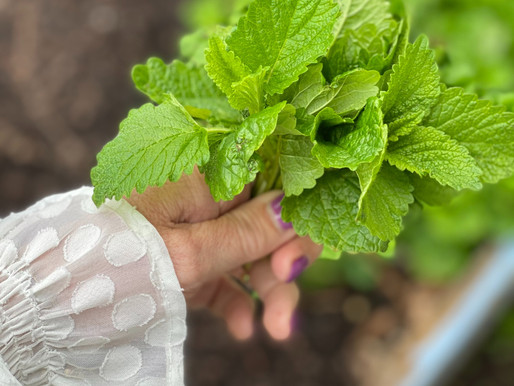 Enchanted Herbs:  Lemon Balm