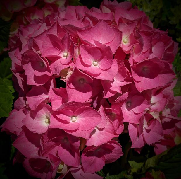 ruby pink hydrangea, Divine Feminine energy