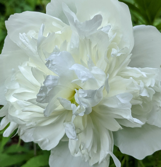 white peony purity