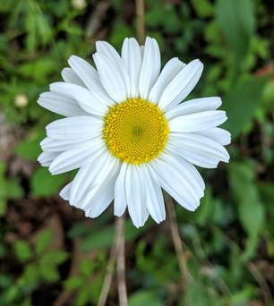 joyful daisy
