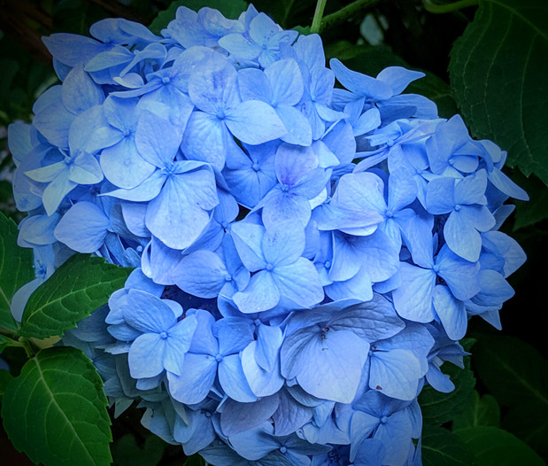 filled with truth hydrangea