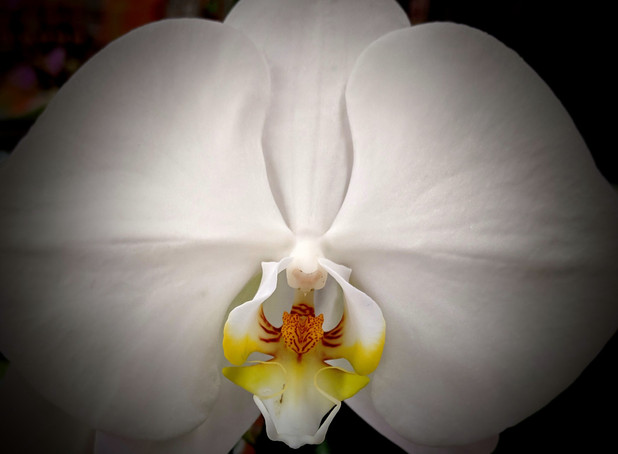 white orchid strength