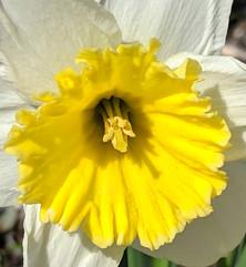Sunshine daffodil