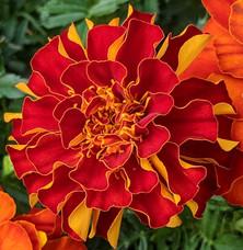 flaming marigold